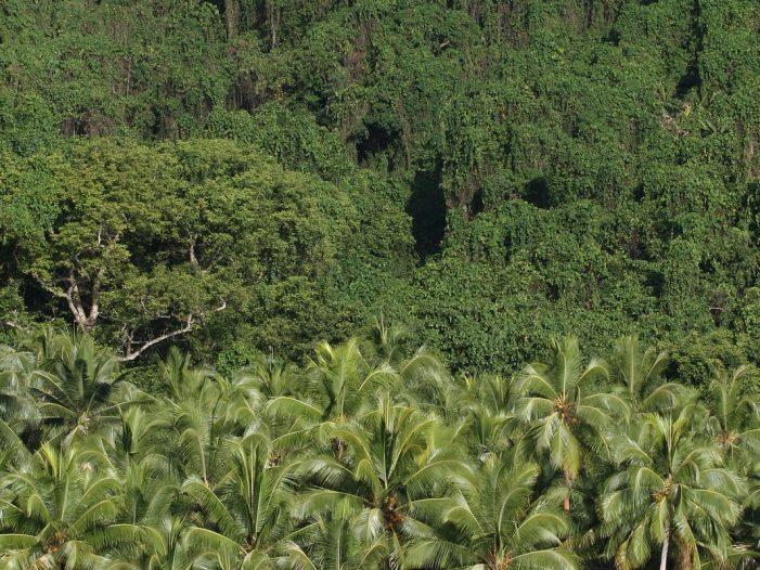 Vanuatu jungle